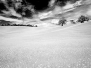 Infrared Images of Two Trees in Field of Oil Seed Rape, Near Pienza, Tuscany, Italy, Europe by Lee Frost