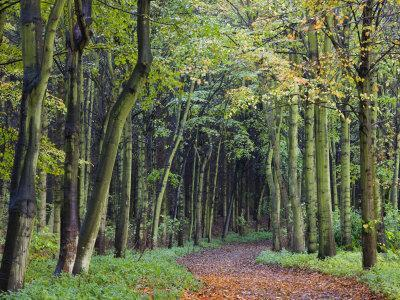 Leaf-Covered Path Through Beech Woodland in Autumn, Alnwick, Northumberland, England