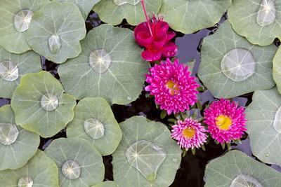 Nasturtium Leaves with Water Droplets