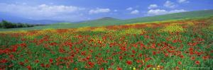 Panoramic View of Field of Poppies and Wild Flowers Near Montchiello, Tuscany, Italy, Europe by Lee Frost