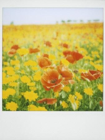 Polaroid of Field of Poppies and Yellow Wild Flowers, Near Fez, Morocco, North Africa, Africa