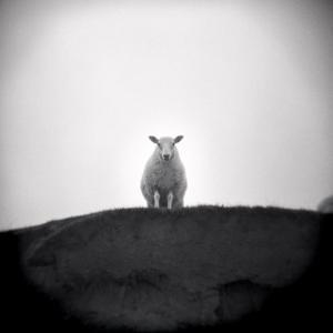 Sheep Standing on Hill Looking Down, Taransay, Outer Hebrides, Scotland, UK by Lee Frost