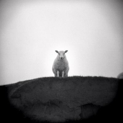 Sheep Standing on Hill Looking Down, Taransay, Outer Hebrides, Scotland, UK
