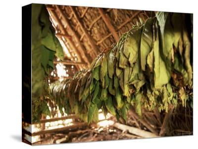Tobacco Leaves on Racks in Drying Shed, Vinales, Cuba, West Indies, Central America