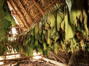Tobacco Leaves on Racks in Drying Shed, Vinales, Cuba, West Indies, Central America by Lee Frost