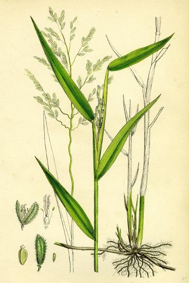 Leersia Oryzoides European Cut-Grass--Giclee Print