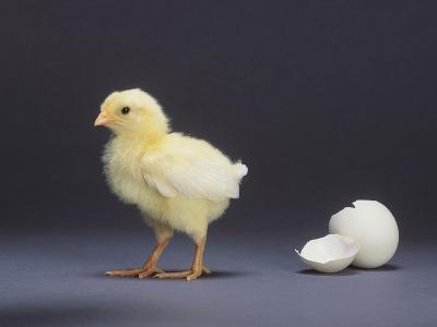 Leghorn Chick--Photographic Print