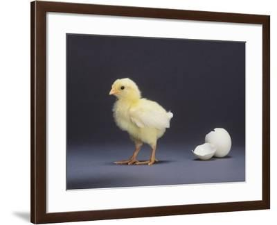 Leghorn Chick--Framed Photographic Print