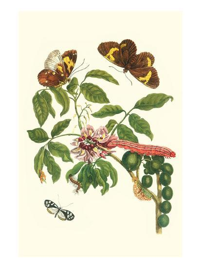 Leguminous Plant with a Sophorae Owl Caterpillar and an Aegle Clearwing Butterfly-Maria Sibylla Merian-Art Print