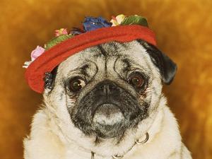 Pug Wearing Floral Hat by Leland Bobb?