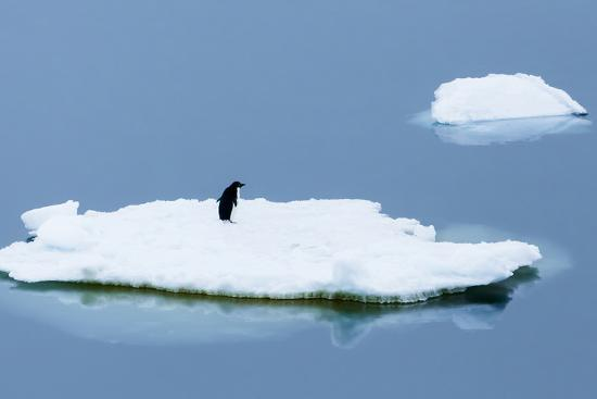 Lemaire Channel, Antarctica. Adelie Penguin Rests on Sea Ice-Janet Muir-Photographic Print