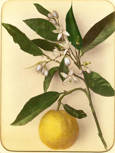 Lemon, 1870s-Pietro Guidi-Giclee Print