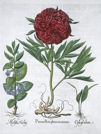 Lemon balm, Peony and adder's tongue fern, 1613-Unknown-Giclee Print