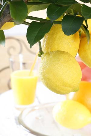 https://imgc.artprintimages.com/img/print/lemon-on-a-branch-citrus-limon_u-l-q11vjyy0.jpg?p=0