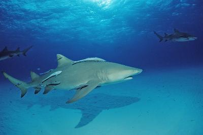 Lemon Shark, Negaprion Brevirostris, Bahamas, Grand Bahama Island, Atlantic Ocean-Reinhard Dirscherl-Photographic Print