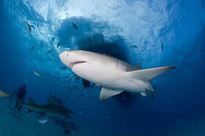 https://imgc.artprintimages.com/img/print/lemon-shark-negaprion-brevirostris-northern-bahamas-caribbean-sea-atlantic-ocean_u-l-q11pxnf0.jpg?p=0