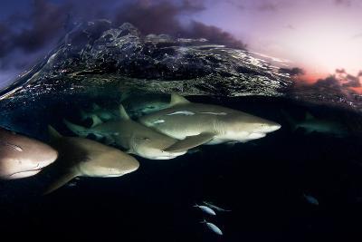Lemon Sharks on Patrol at Sunset in the Bahama Banks-David Doubilet-Photographic Print