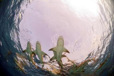 Lemon Sharks-Greg Amptman-Photographic Print