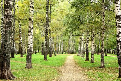 Morning Autumn Birch Grove in the End of September
