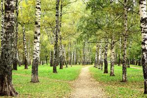 Morning Autumn Birch Grove in the End of September by LeniKovaleva
