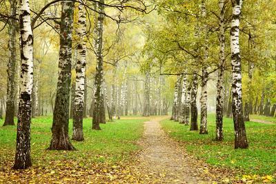 Pathway in Autumn Fog Birch Forest