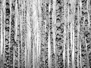 Winter Trunks Birch Trees by LeniKovaleva