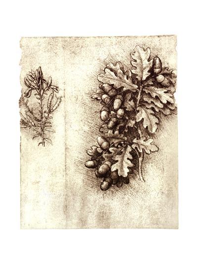 Leonardo Da Vinci's Oak Leaves And Acorns-Sheila Terry-Giclee Print