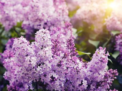 Close-Up Beautiful Lilac Flowers with the Leaves