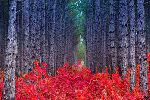 Fantastic Forest with Cotinus Coggygria. Autumn Leaves. Crimea, Ukraine, Europe. Beauty World. by Leonid Tit