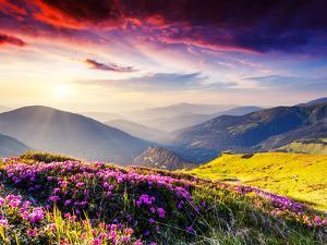 Magic Pink Rhododendron Flowers on Summer Mountain. Dramatic Overcast Sky. Carpathian, Ukraine, Eur by Leonid Tit