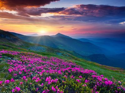 Magic Pink Rhododendron Flowers on Summer Mountain. Dramatic Overcast Sky. Carpathian, Ukraine, Eur