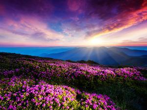 Magic Pink Rhododendron Flowers under the Dark Blue Sky. Majestic Carpathian, Ukraine, Europe. Beau by Leonid Tit