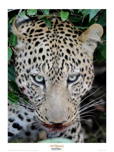 Leopard after the Kill-Martin Fowkes-Giclee Print