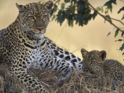 Leopard and Cub Resting, Masai Mara Game Reserve, Kenya-Paul Souders-Photographic Print