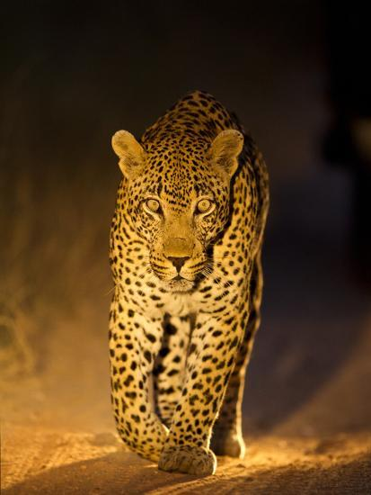 Leopard at Night, Sabi Sabi Reserve, South Africa--Photographic Print