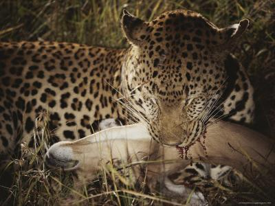 Leopard Bites Into the Neck of Its Fallen Prey-Kim Wolhuter-Photographic Print