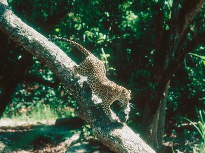 Leopard, Carrying 4-Week Old Cub Down Tree Over River, India-Mary Plage-Photographic Print