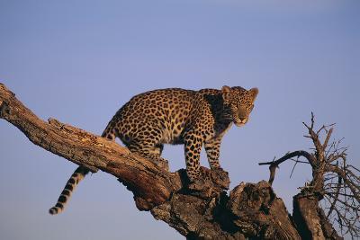 Leopard Climbing Tree-DLILLC-Photographic Print