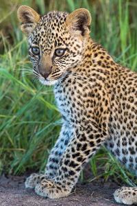 Leopard Cub (Panthera Pardus), Serengeti National Park, Tanzania