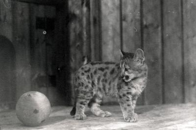 Leopard Cub with a Ball-Frederick William Bond-Photographic Print