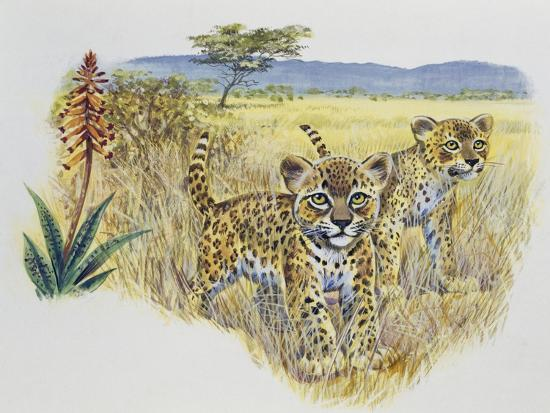 Leopard Cubs (Panthera Pardus), Felidae, Drawing--Giclee Print