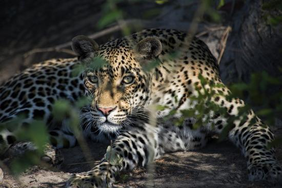 Leopard Face Peeking Out of Bush Close Up-Sheila Haddad-Photographic Print