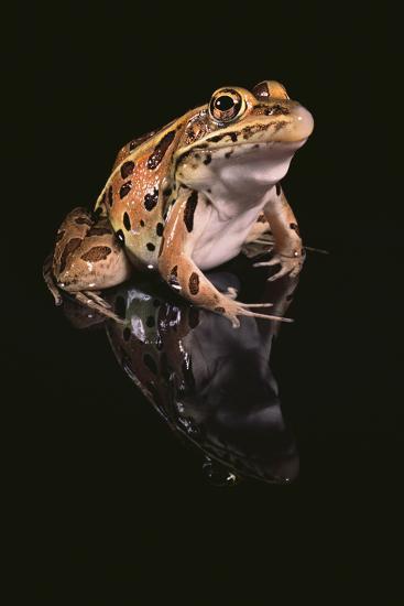 Leopard Frog-DLILLC-Photographic Print