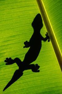 Leopard Gecko (Eublepharis Macularius) on Banana Leaf, Tortuguero, Costa Rica