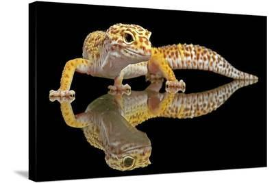 Leopard Gecko-Dikky Oesin-Stretched Canvas Print