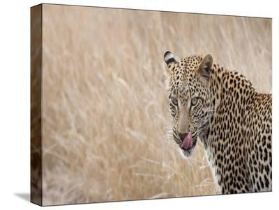 Leopard Huts-Dale MacMillan-Stretched Canvas Print