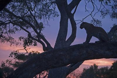 Leopard in a Tree Top Perch at Dusk, Mombo, Okavango Delta, Botswana-Beverly Joubert-Photographic Print