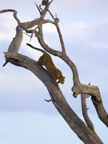 Leopard in Dead Tree, Kruger National Park, Mpumalanga, South Africa, Africa-Toon Ann & Steve-Photographic Print