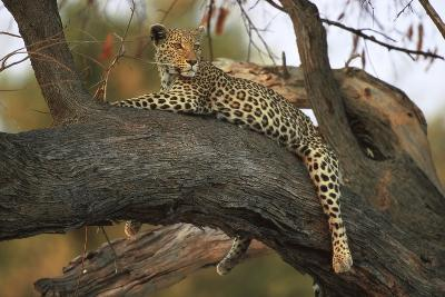 Leopard in Tree--Photographic Print