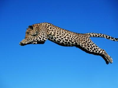 Leopard Jumping